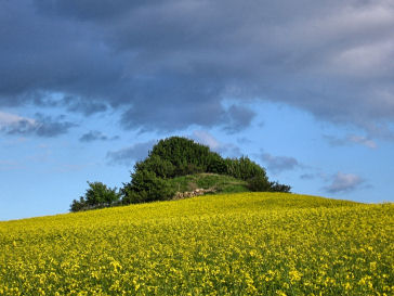 Hillock in a field of rape - on Oddenvejen between Lumsaas and Sonnerup